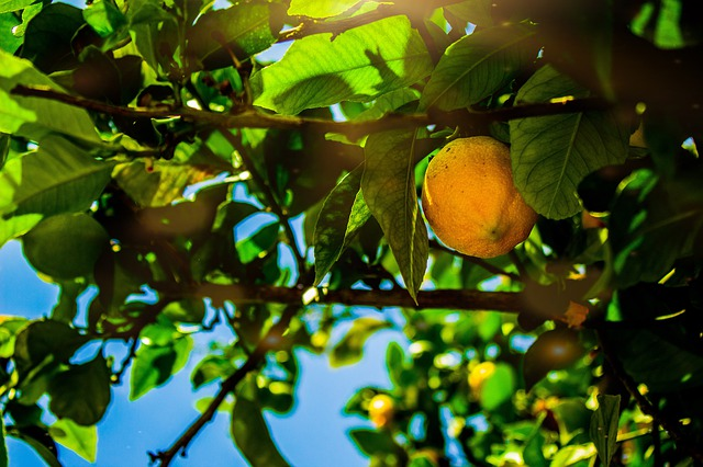 Lemon Trees: How to care for them